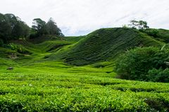 A tea plantage in Malaysia royalty free stock photo