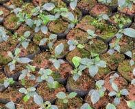 Tea plants in a nursery Stock Photo