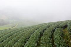 Tea plants in rows Royalty Free Stock Photography