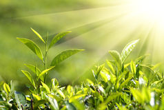 Tea plants in sunbeams stock photography