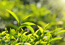 Tea plants in sunbeams Royalty Free Stock Photography