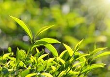 Tea plants in sunbeams Royalty Free Stock Photography