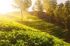 Tea plants on terrace farm