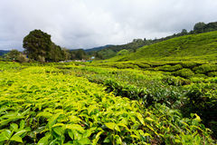 Tea platation in the Cameron Highlands Royalty Free Stock Photo