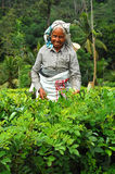 Tea Plucker. Ceylon tea is known all over the world for its taste and flavor. Only Tamil women work at the plantations in Sri Lanka. Hard job but in good mood Stock Image