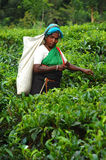 Tea Picker at the Plantation in Sri Lanka. Ceylon tea is known all over the world for its taste and flavor. Only Tamil women work at the plantations in Sri Lanka Stock Photo