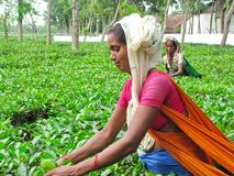 Tea Plucker. Women harvest tea in a plantation in Sylhet district, Bangladesh Stock Image