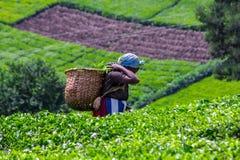 Tea Plucker Stock Images