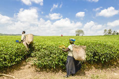 Tea Harvest Stock Images