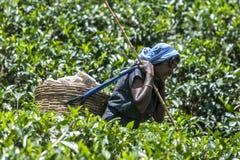 A tea plucker at work near Nuwara Eliya in Sri Lanka. royalty free stock photo