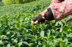 Tea plucking Royalty Free Stock Photo