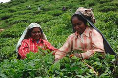 Tea plucking in South India Royalty Free Stock Image