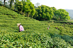 Tea plucking women Royalty Free Stock Photo
