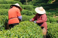 Tea plucking women Stock Photos