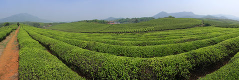 Tea production. Zhuji City, Zhejiang Province, China tea production base Royalty Free Stock Image
