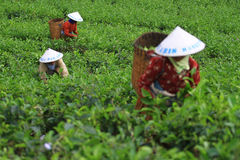 Tea Production Quality Stock Images