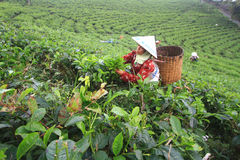 Tea Production Quality Stock Image