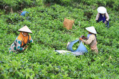 Tea Production Quality Stock Photos