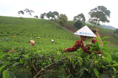 Tea Production Quality Stock Photography