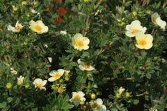 Tea-rose. Green tea rose bush with white flowers closeup Royalty Free Stock Photography