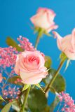 Tea Rose Royalty Free Stock Image
