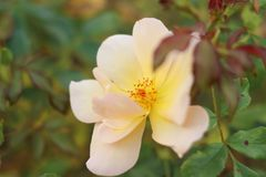 Tea rose in the autumn. Rose blossom. Yellow Rose. stock photography