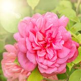 Tea rose. Stock Photography