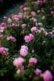 Tea Rose Field. stock photos