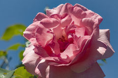 Tea rose garden in the autumn Royalty Free Stock Images