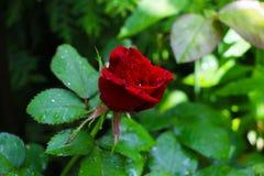 Tea rose garden in Belarus in sunlight stock photo