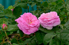 Tea rose. А garden rose with flowers that have a delicate scent said to resemble that of tea. From tea rose petals can prepare a delicious jam. And the petals Stock Photo