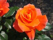 Tea rose in the garden in summer. stock images