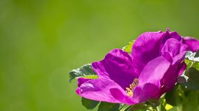 Tea rose. On a green background Royalty Free Stock Photo