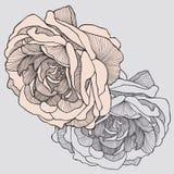 Tea rose, hand-drawing. Vector illustration. Royalty Free Stock Image