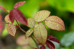 Close up of tea rose leafs with rain drops in soft focus royalty free stock photography