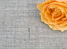 Tea rose on linen background Stock Photo