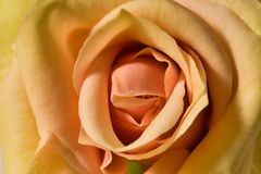 Tea-rose macro Royalty Free Stock Photos