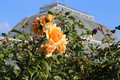Tea Rose at The Palm Tree House in Kew Gardens Royalty Free Stock Photography