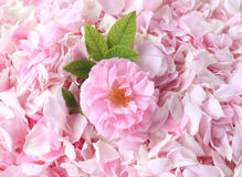 Tea-rose petals on the background stock images