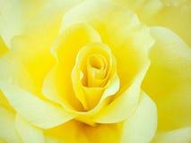 Tea rose petals Royalty Free Stock Photography