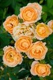 Tea roses Stock Photo