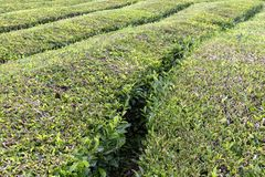 Tea rows in Sao Miguel. Paths between bushes of tea growing in the Azores stock images
