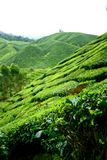 Tea shrubs in Plantation Stock Images