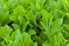 Tea sprout Royalty Free Stock Images