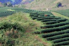 The tea strips on tea plantation Royalty Free Stock Image