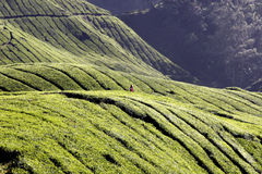 Tea time in Cameron Highlands. Cameron Highlands scenic tea plantation royalty free stock photography