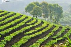 Tea tree Royalty Free Stock Photo