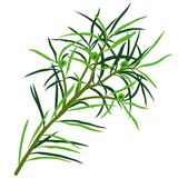 Tea Tree Stock Image