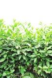 Tea tree Royalty Free Stock Image