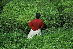 tea tree farm Stock Images
